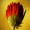 بازل الوردة الحمراء