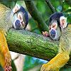 بازل القرود النائمة