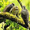 بازل الطيور الثلاثة