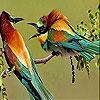 بازل الطيور الملونة